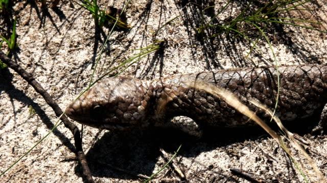 western australian shingleback lizard close up video