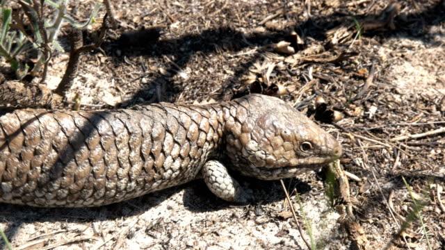 western australian shingleback lizard walking video
