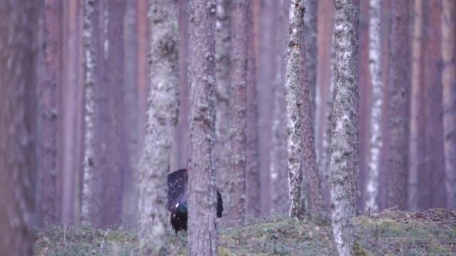 västtjädern (tetrao urogallus) - tjäder bildbanksvideor och videomaterial från bakom kulisserna