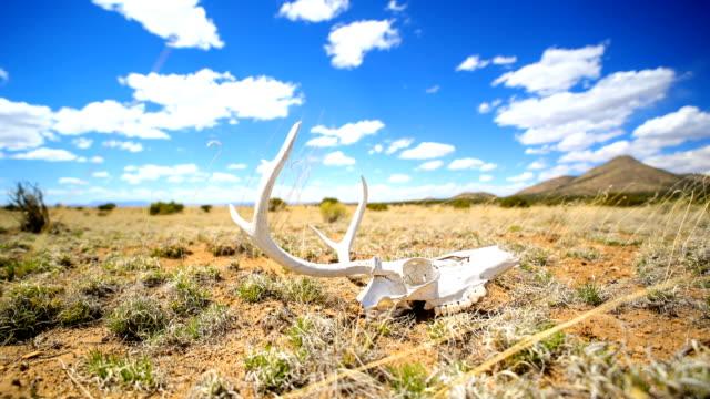 stockvideo's en b-roll-footage met westerse woestijn concepten: herten schedel op de grond - dierlijk bot