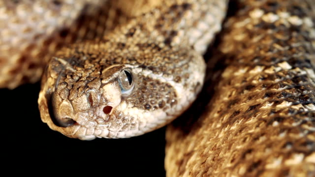 Western Diamondback Rattlesnake video