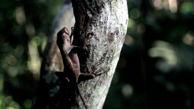 western lucertola in foglia, perù amazzonia, perù - rettile video stock e b–roll