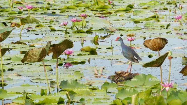 Western swamphen on lake with water lilies, pink lotuses in gloomy water reflecting birds. Migratory birds in the wild. Exotic tropical pond. Environment conservation, endangered species.