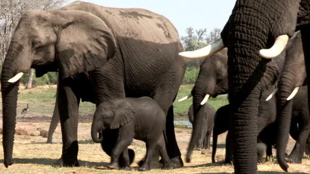 Wet elephant herd after drinking,Okavango Delta, Botswana video