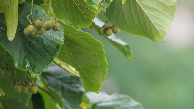 wet green linden tree leaves on the branch with rain drops, in rain - disordine affettivo stagionale video stock e b–roll