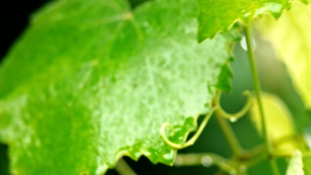 wet leaves of grape moving on wind - orticoltura video stock e b–roll