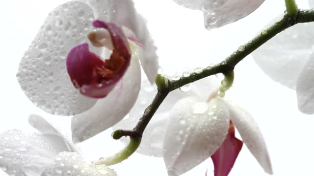 wet orchid on the rain