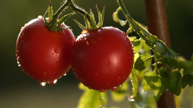 slo mo wet red tomatoes - pomodoro video stock e b–roll
