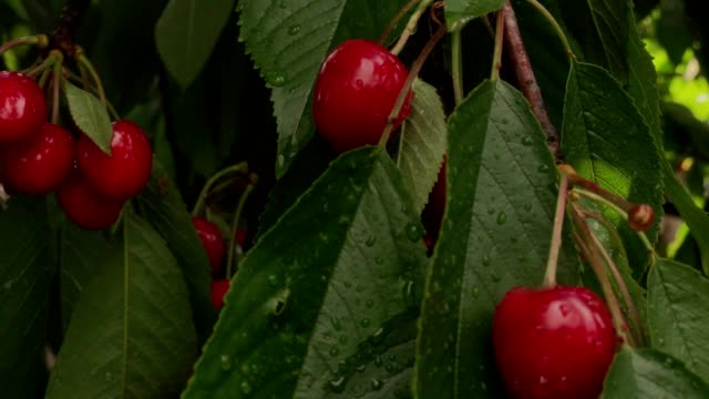 wet ripe cherry berries in with hell after rain with leaves on a branch of wood scattered light - parte della pianta video stock e b–roll