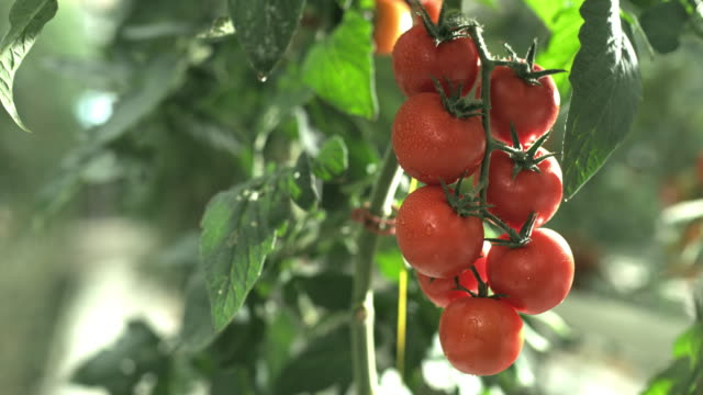 slo mo ds wet tomatoes growing in sunshine - pomodoro video stock e b–roll