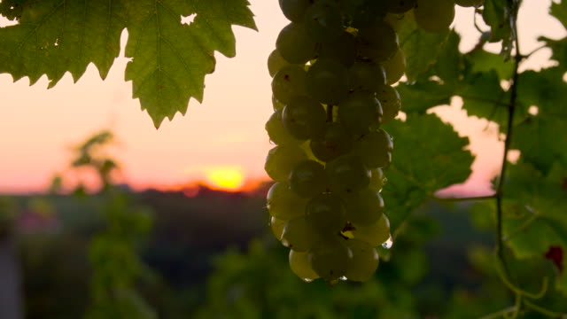 CU DS Wet White Grapes At Dusk video