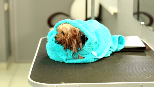 a wet yorkshire terrier wrapped in blue towel on a table at a veterinary clinic. - drżeć filmów i materiałów b-roll