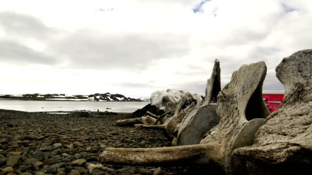 Whale Bones at Antarctica Whale Bones at Antarctica animal skeleton stock videos & royalty-free footage