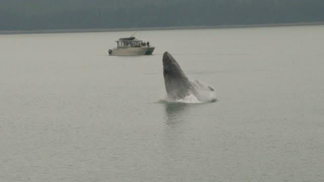 vidéos et rushes de violation des baleines - baleine