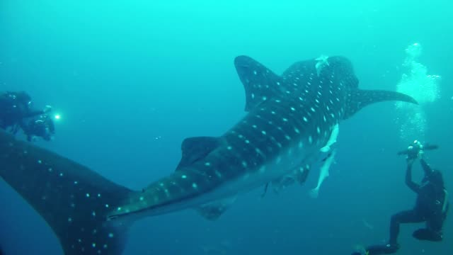 Whale shark and scuba divers making footage Underwater footage of the marine life in the Indian Ocean Madagascar indian ocean stock videos & royalty-free footage