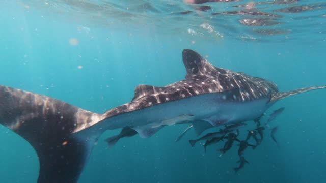 Walhai gefährdetArten schwimmen unter Meeresoberfläche – Video
