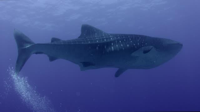 vidéos et rushes de requin de baleine dans l'eau bleue dans l'océan ouvert - baleine