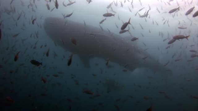 vidéos et rushes de requin-baleine près de plongeurs sous l'eau sur fond de fond de la mer dans les galapagos. - baleine