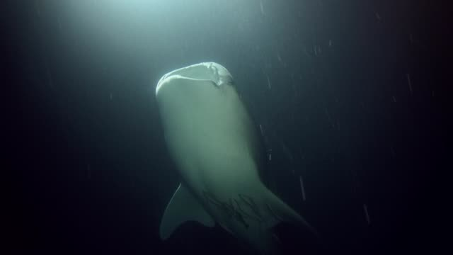 Whale Shark - Rhincodon typus swim in the night. Indian Ocean, Fuvahmulah island, Maldives, Asia Whale Shark - Rhincodon typus swim in the night. Indian Ocean, Fuvahmulah island, Maldives, Asia basking shark videos stock videos & royalty-free footage