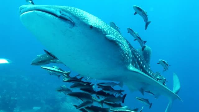 Whale Shark with Remora and Cobia fish swimming pass bubble scuba divers  at Mu Koh Surin Marie national Park ,Andaman sea Thailand Whale Shark with Remora and Cobia fish swimming pass bubble scuba divers at Mu Koh Surin Marie national Park ,Andaman sea Thailand aqualung diving equipment stock videos & royalty-free footage