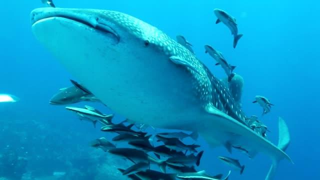 vidéos et rushes de requin-baleine avec poisson remora et cobia natation pass bulle plongeurs au parc national de mu koh surin marie, thaïlande mer andaman - baleine