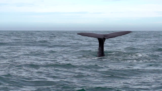 SLOW MOTION: Whale Tail Super slow motion of a divining Sperm Whale  tail stock videos & royalty-free footage