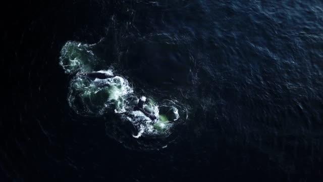 vidéos et rushes de baleines se nourrir dans l'océan - baleine