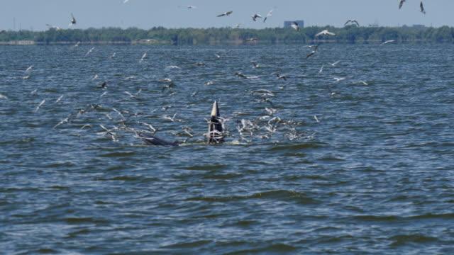 Whales feeding. video