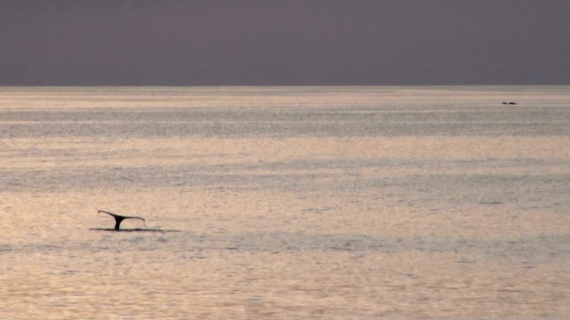 vidéos et rushes de baleines en antarctique-antarctic peninsula-archipel de palmer, le réchauffement - nageoire caudale