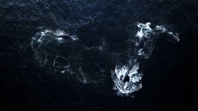 Whales swimming in the ocean Two Whales swimming together in the ocean seen from aerial view tail stock videos & royalty-free footage