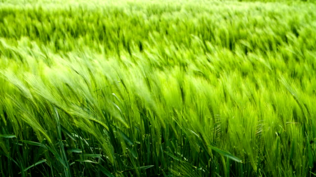 Wheat and Wind Wind blowing through a wheat field grass area stock videos & royalty-free footage