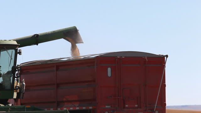 Wheat being loaded into truck at harvest time video