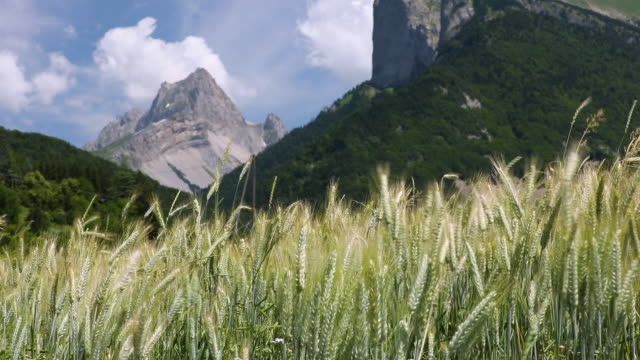 wheat blowing in the mountains of the cuchon and petite autane with the village of les faix, champsaur, french alps in summer. hautes-alpes - hautes alpes stock videos & royalty-free footage