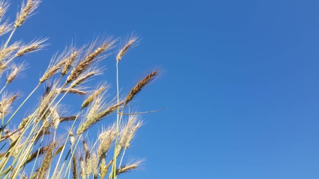 Wheat blown by the wind against a blue sky