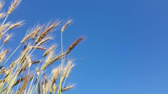 vidéos et rushes de blé soufflé par le vent contre un ciel bleu - tige d'une plante