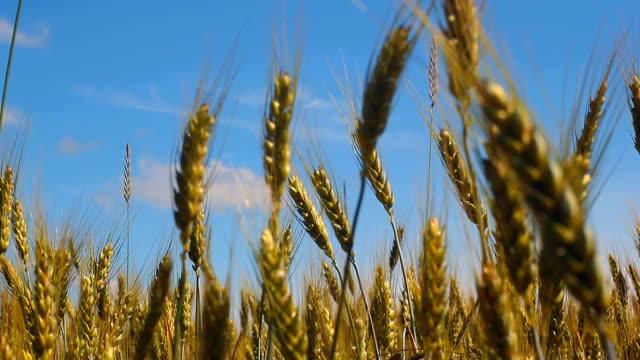 vidéos et rushes de gros plan de blé - tige d'une plante
