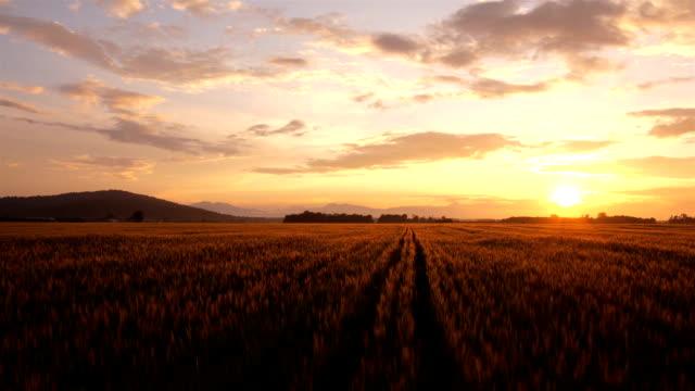 AERIAL: Wheat crop at golden sunrise