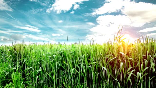 小麦作物畑風景 - ハリヤナ州点の映像素材/bロール