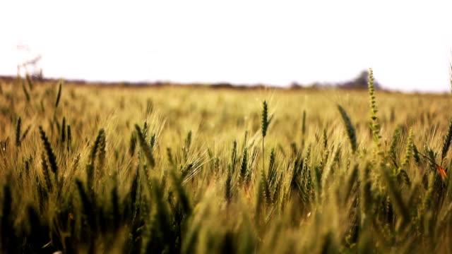 vídeos de stock e filmes b-roll de wheat crop field swaying though wind - oscilar