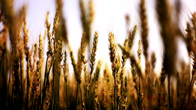 小麦畑が風に揺れる - ハリヤナ州点の映像素材/bロール