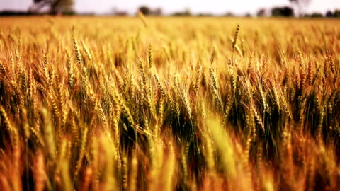 Wheat crop field swaying though wind Wheat crop swaying through wind outdoor in nature. agricultural field stock videos & royalty-free footage