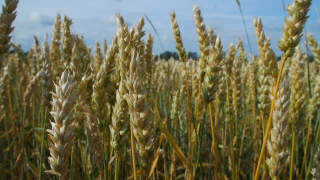 vídeos y material grabado en eventos de stock de cosecha de trigo en un campo en suecia, primer plano - prosperidad