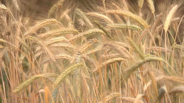 風の小麦の収穫 - 大麦点の映像素材/bロール