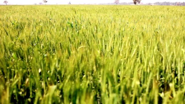 wheat crop swaying through wind - харьяна стоковые видео и кадры b-roll
