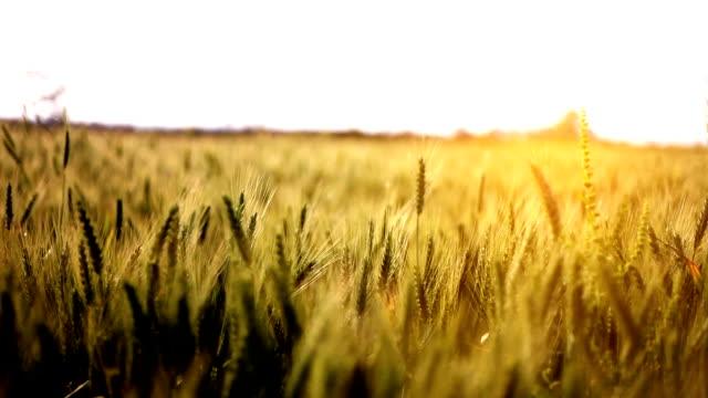 wheat crop swing through wind - харьяна стоковые видео и кадры b-roll