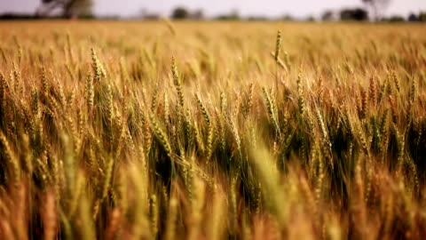 Wheat crop swing through wind Wheat crop swing through wind during summer season outdoor in the field slow motion. agricultural field stock videos & royalty-free footage