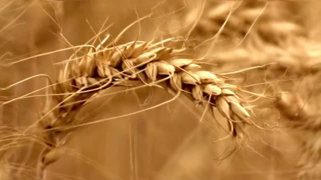小麦トリミング風スイング - ハリヤナ州点の映像素材/bロール