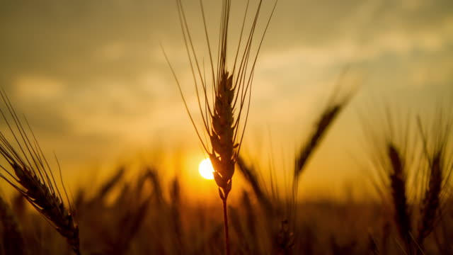 stockvideo's en b-roll-footage met t/l tarwe oor bij zonsopgang - wheat field