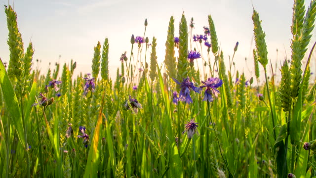 CU DS Wheat Ears And Cornflowers video