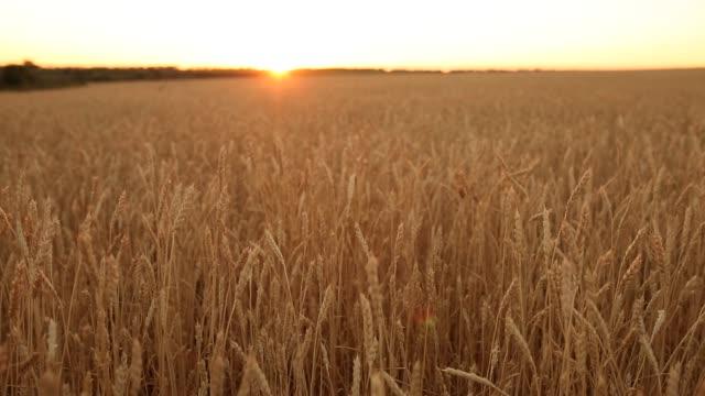 ファームのフィールド、フィールドの浅い深さで小麦の耳。夕日で黄金熟した麦畑。豊かな収穫や農業をテーマ コンセプト。ドリー ショット パノラマ - 大麦点の映像素材/bロール